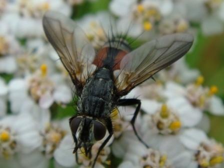 Eriothrix rufomaculata(f)
