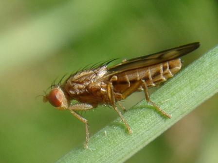 Opomyza petrei