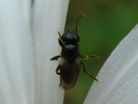 Saltella sphondylii