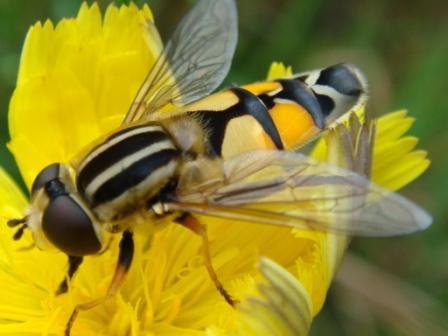 Helophilus trivittatus Citroenpendelzweefvlieg(f)
