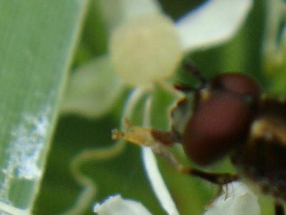 Platycheirus albimanus Micaplatvoetje(m)