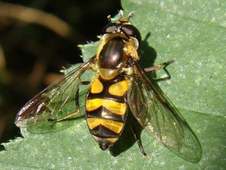 Didea fasciata Bosdidea