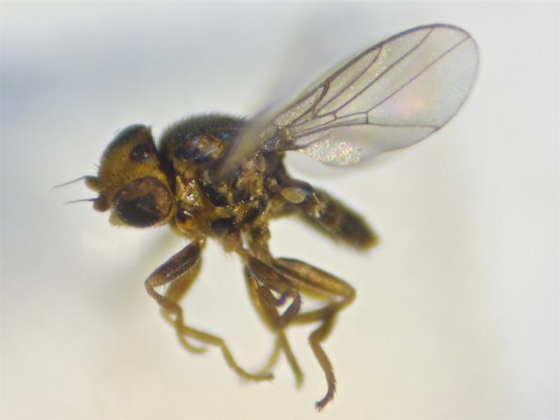 Trachysiphonella scutellata