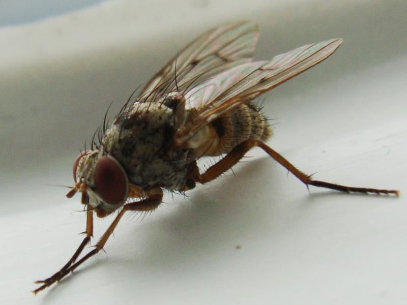 Helina sexmaculata(f)