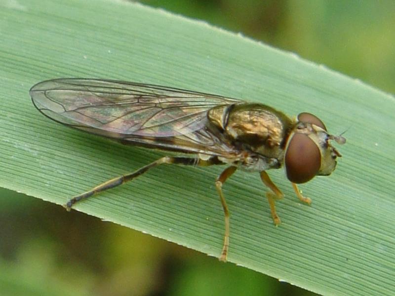 Platycheirus peltatus Scheefvlekplatvoetje(f)