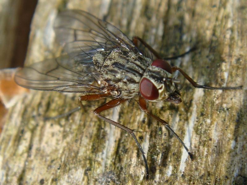 Phaonia fuscata(f)