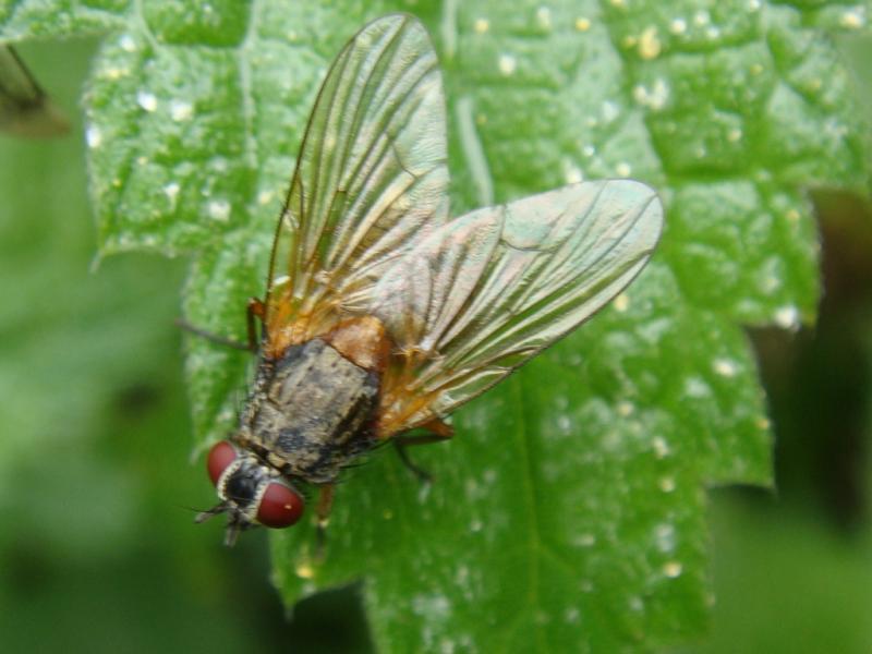 Mydaea corni(f)