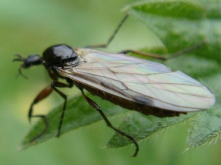 Bibio lanigerus(f)