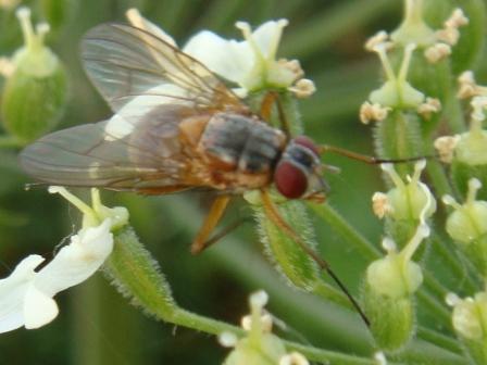 Phaonia rufiventris(f)