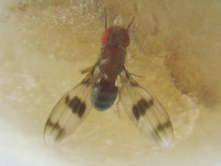 Chymomyza amoena Soort Fruitvliegje