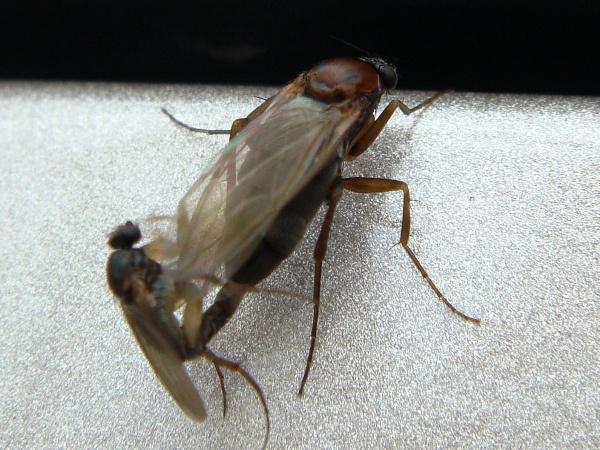 Anevrina thoracica