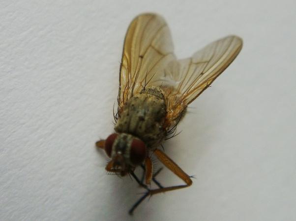 Helina depuncta(f)