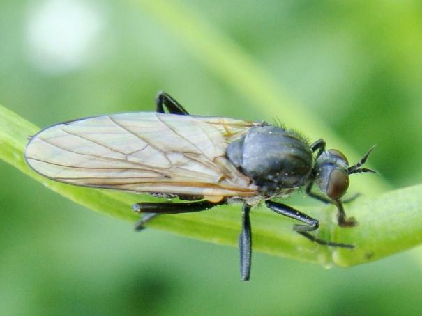 Rhamphomyia sulcata(f)