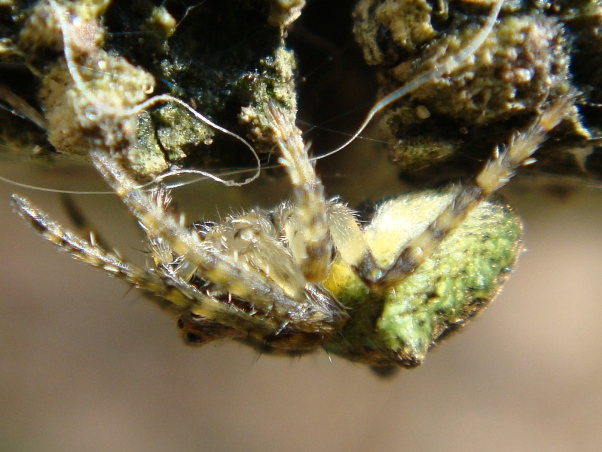 Gibbaranea gibbosa Boomknobbelspin