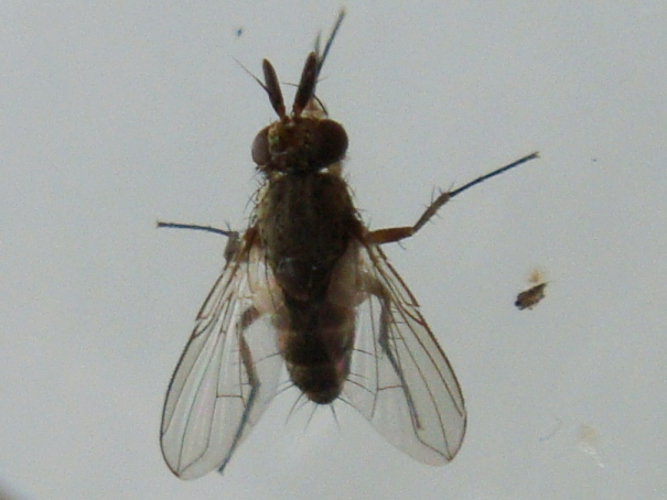 Siphona pauciseta