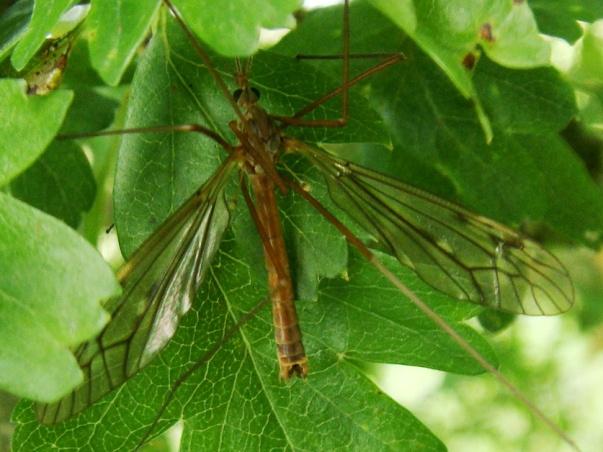 Tipula nubeculosa(m)