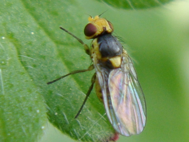 Agromyzidae spec.