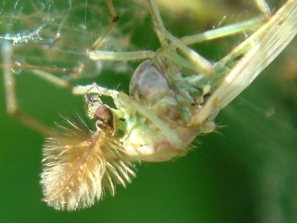 Chironomidae indet.
