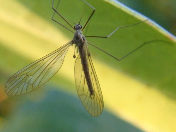 Trichocera spec. (m)
