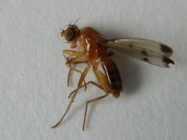Geomyza balachowskyi