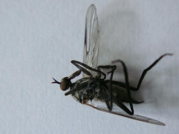 Rhamphomyia crassirostris(f)