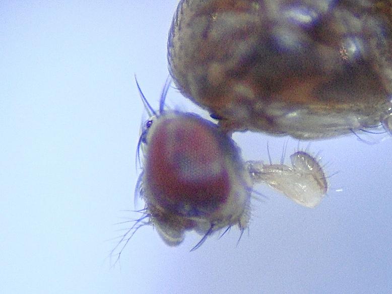 Drosophila cameraria