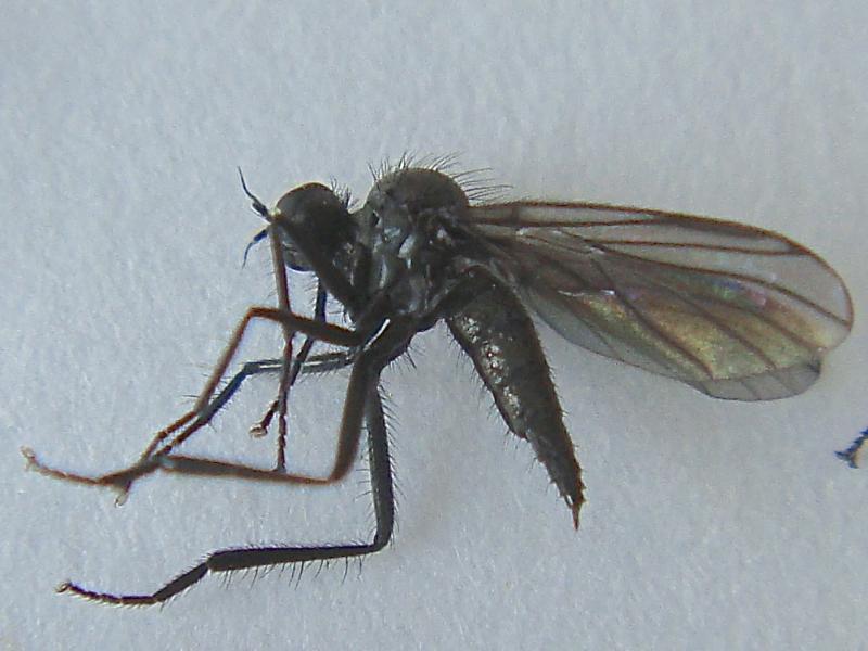 Bicellaria pilosa