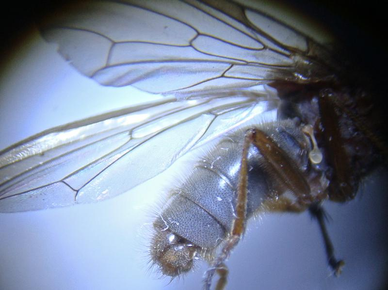 Dryomyza