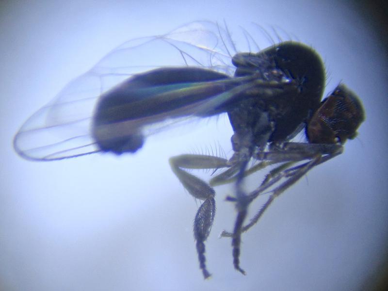Agathomyia viduella