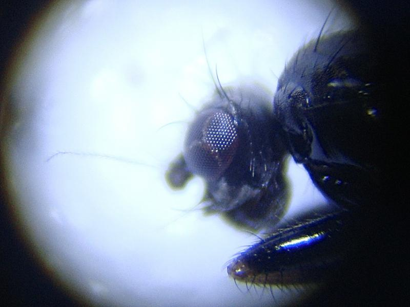 Crumomyia roserii