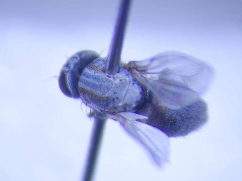 Leucopsis melanopus