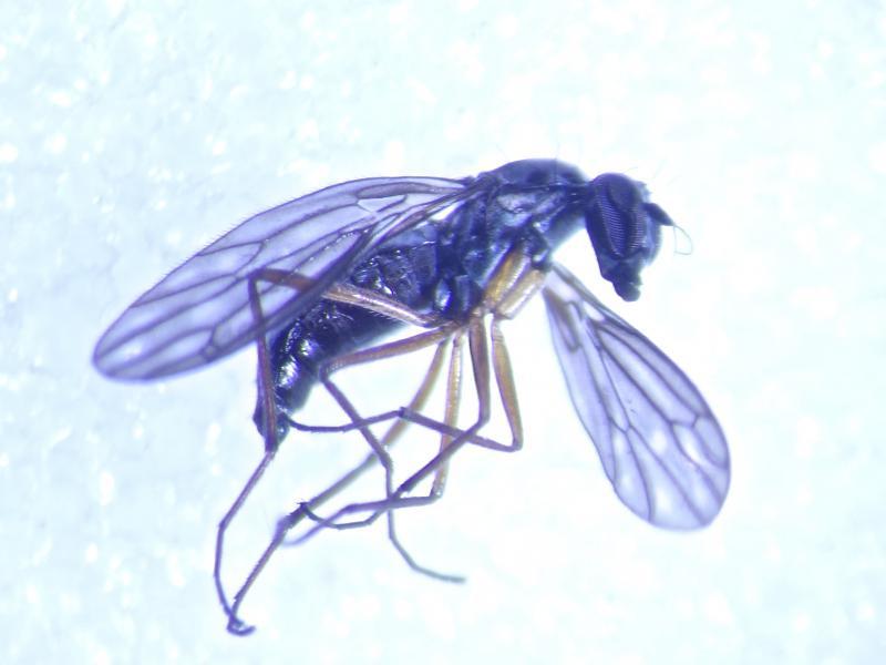Dolichocephala oblongoguttata