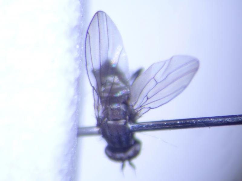 Phyligria vittipennis