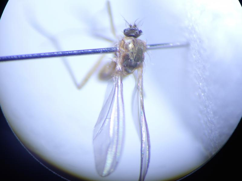 Xanthochlorus ornatus