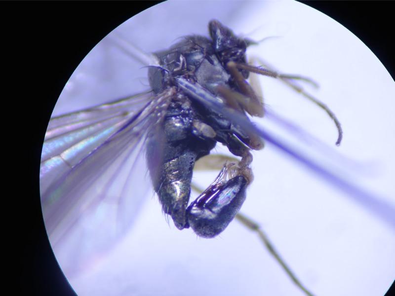 Dolichopus longitarsis