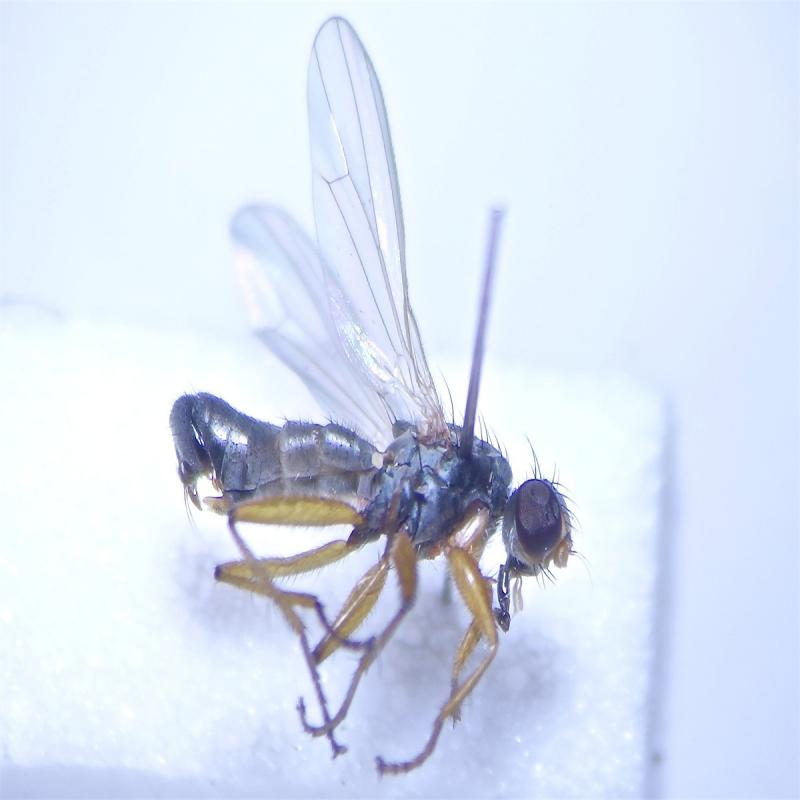 Chaetosa punctipes