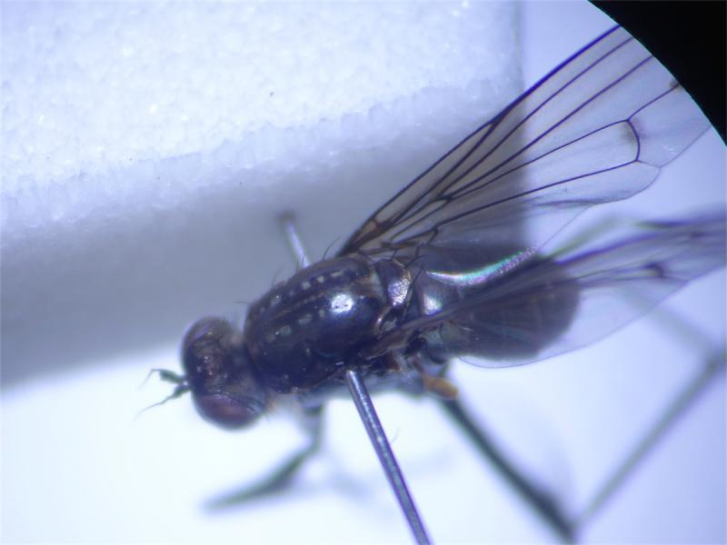 Hydrophorus bipunctatus