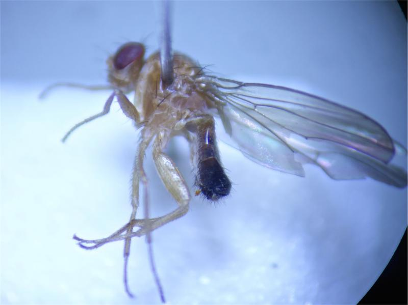 Drosophila funebris