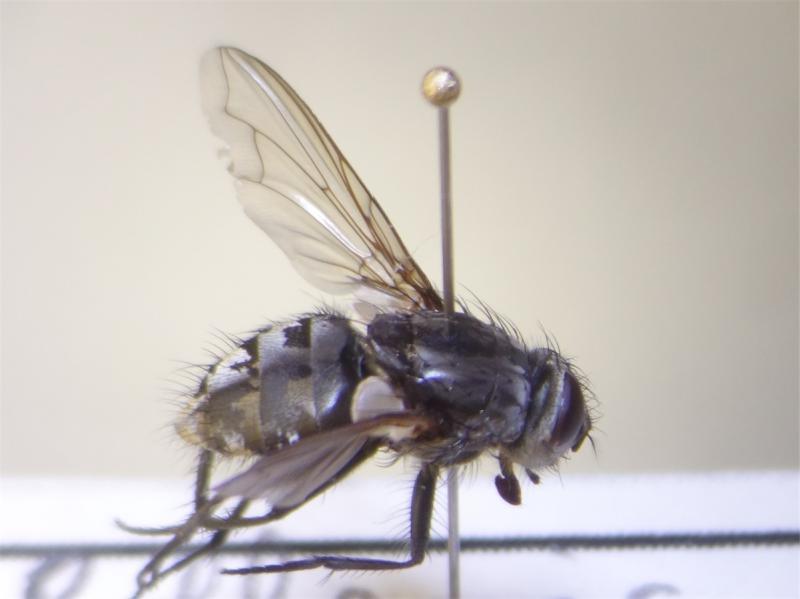 Pollenia vagabunda