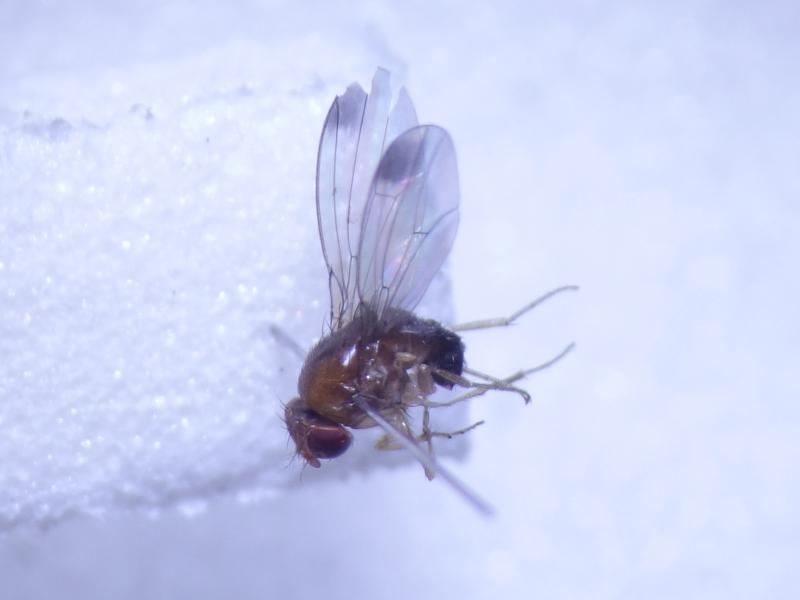 Drosophila suzuki