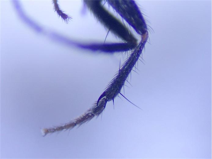 Alloborborus pallifrons