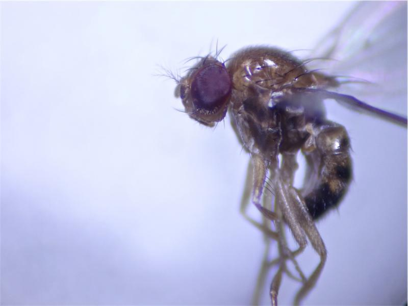Drosophila histrio