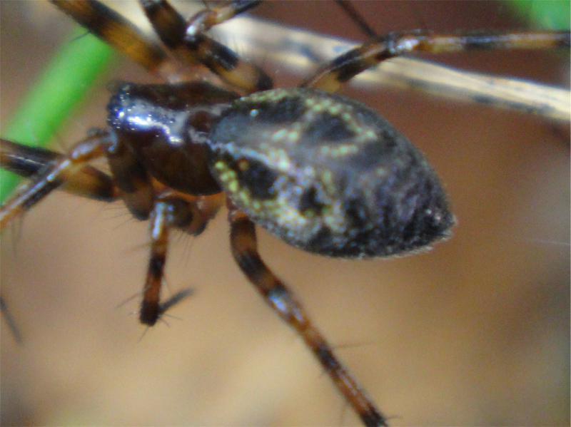 Lepthyphantus spec.