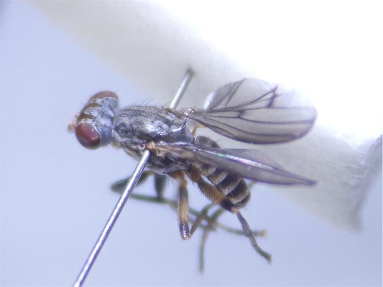 Pherbellia annulipes