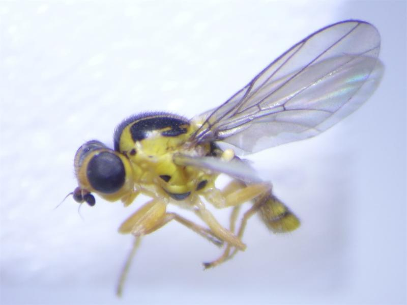 Chlorops rossicus