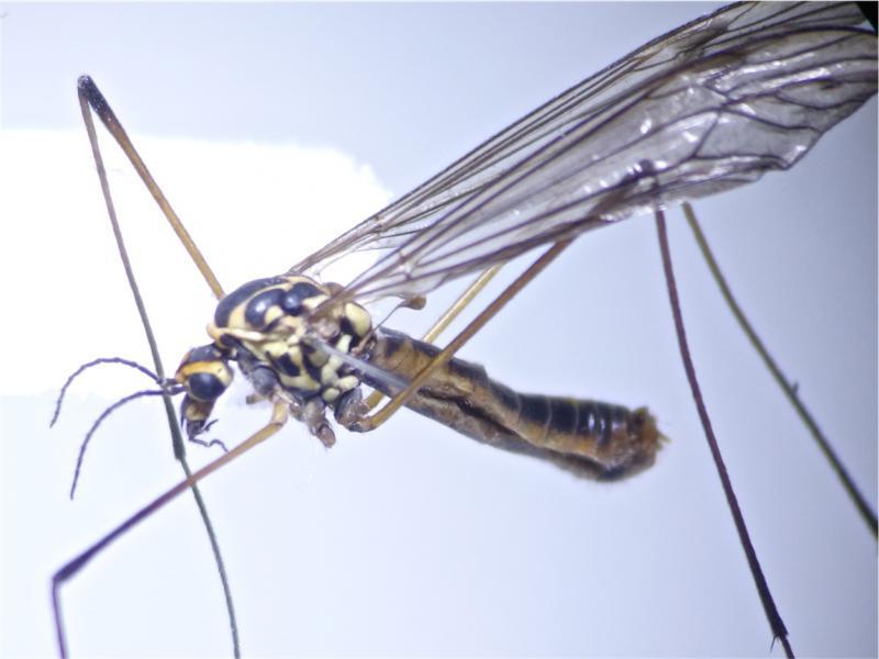 Nephrotoma appendiculata(m)