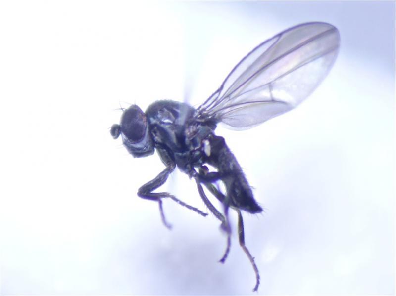 Ditrichophora calceata(m)