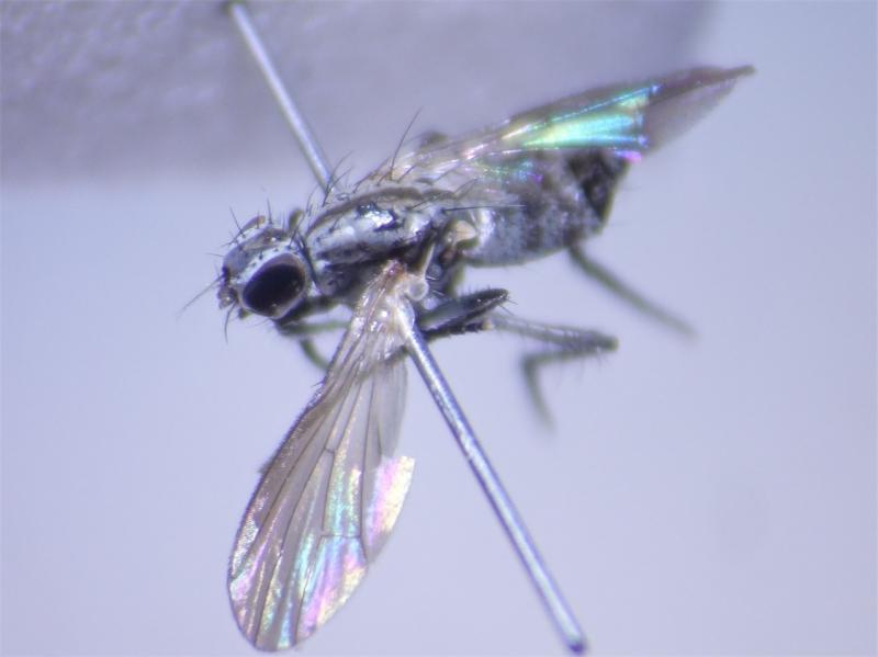 Anthomyia monilis(f)