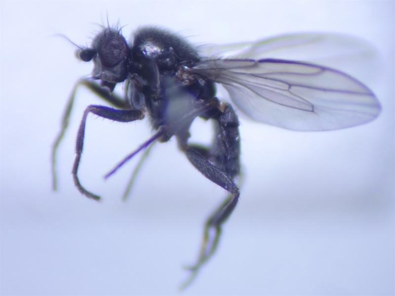 Spelobia clunipes