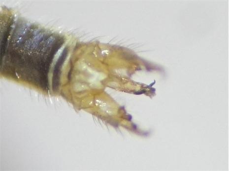 Gonomyia dentata